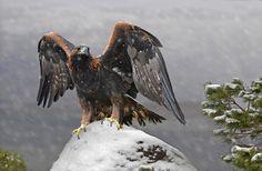 Golden Eagle Scotland