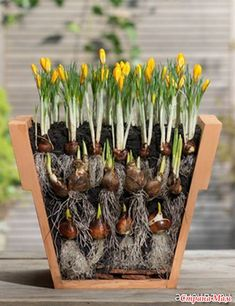 Как посадить луковичные в горшки для обильного цветения весной. - Сад, огород - Страна Мам