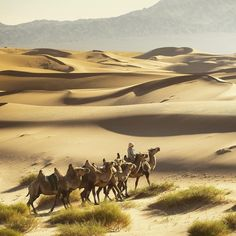 Photo by @irablockphoto (Ira Block)  Bactrian camels ride across Mongolia's south Gobi Desert near Khongoryn Els