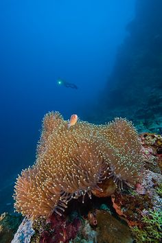 Sea Anemone plus that AWESOME fish in the backround!!!  HA HA...wait, it's a scuba diver.