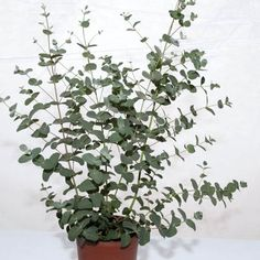 "Silver Drop Eucalyptus - Height: 24-32""; 8-10"" spread; 250 seeds for $9. YES"