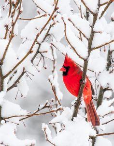 Winter Photography Red Bird Cardinal Large Print White by greenpix
