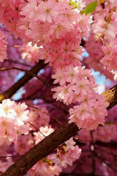 Due to the cooler weather this spring the 2018 Cherry Blossom Peak Bloom Forecast has been pushed back just a bit. Flowers Nature, Pretty In Pink, Pink Flowers, Beautiful Flowers, Pink Trees, Nature Tree, Beautiful Things, Flowering Trees, Blooming Trees