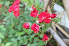 Red Mini Rose