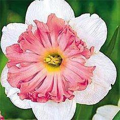 Daffodil..