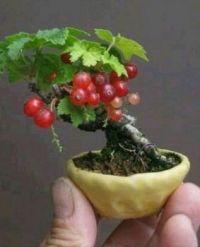 Red currant bonsai