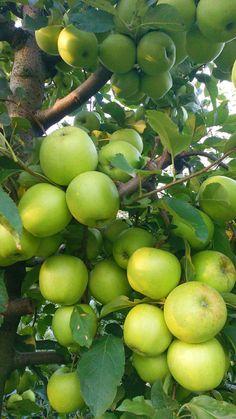 Grape Vineyard, Apple Farm, Beautiful Fruits, Exotic Fruit, Natural Energy, Fruit Garden, Healthy Fruits, Fruit Trees, Natural Wonders