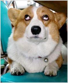 """Yeah right!"" #dogs #pets #Corgis Facebook.com/sodoggonefunny"