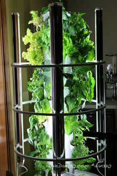 Tower Garden - Pulling leaves for a salad and planning out the rest of the seedlings.