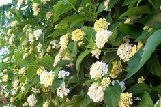 La Tabla en El Jardín: Lantana camara Victoria, sobre la caseta y en flor