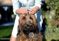 Žena odhrnující briardovi chlupy z očí Woman's hands fixing hair on dog's head Dog Lovers