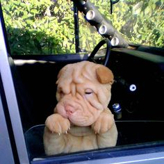 List of The Oldest Dog Breed in The World (COMPLETE) - AWW - - best pictures and photos ideas about adorable chinese shar pei puppies oldest dog breeds The post List of The Oldest Dog Breed in The World (COMPLETE) appeared first on Gag Dad. Cute Funny Animals, Cute Baby Animals, Animals And Pets, Cute Dogs And Puppies, I Love Dogs, Doggies, Cachorros Shar Pei, Beautiful Dogs, Animals Beautiful