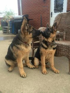 GSD Puppies...Brotherly and sisterly love :-)