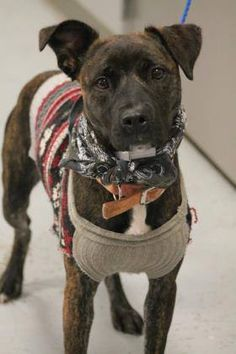 ADOPTED>NAME: Brittany ANIMAL ID: 30946972 BREED: Pit mix SEX: female (spayed) EST. AGE: 8 mos Est Weight: 35 lbs Health: heartworm neg Temperament: dog friendly, people friendly. ADDITIONAL INFO: RESCUE PULL FEE: $35 Intake date: 2/25 Available: 3/2