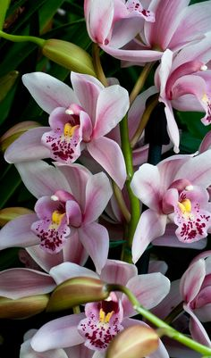 Cymbidium Oriental Legend, cream colored petals with rose and wine markings in the Orchid House Photo by Duane Erdmann
