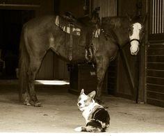 Horses and Corgis!  They go well together. :D #corgi