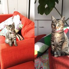 成長記録💦 息子もニャンコもすぐ大きくなる😭💦淋しい母 左 3か月くらい? 右 5ヶ月くらい? なんせ、保護猫だから正確な誕生日が不明🎂 . #子猫 #こねこ部  #こねこ #にゃんこ #猫  #ネコ #愛猫 #保護猫 #にゃんすたぐらむ #マーブ #ねこ #catstagram #cat #ねこ部 #鈴はリサイクル #かぎ針編み #編み物 #シュシュタイプ #ふんわりシュシュタイプ #猫の首輪