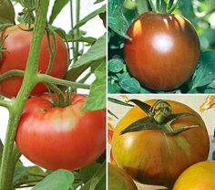 'Cherokee Purple,' 'Jaune Flamme,' 'Amish Paste,' 'Orange Oxheart'—the names alone conjure up unusual shapes, colors, and tastes, and we want to grow them all. We accept that their fruits may not be uniform and picture perfect and that their skins may be too thin to ship across country for mass marketing. Most heirlooms have a story behind them, which is fun to discover and adds to their charm. There are many reasons their seeds have been saved and passed down by gardeners for generati...