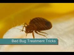 http://BedBugTrick.com  Get bed bug home treatment tips and tricks!