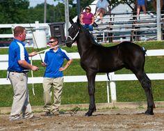 Utopia's J. Kriz - Percheron Weanling Stallion Foal - 2012 All-American Nominee