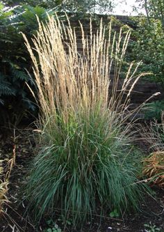 1000 images about grasses hardy and annual on pinterest for Hardy ornamental grasses