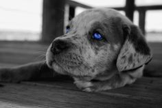 Our Catahoula Leopard Pup Gentry! #puppy #catahoula #blue #eyes #catahoula