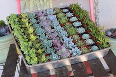 """2"""" Wedding Succulents bulk wholesale succulent prices at the succulent source - 3"""