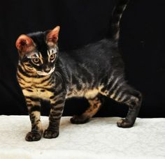Charcoal bengal cats Charcoal is a breeder description of a color (technically a pattern) of Bengal Cats. It is it's own color and pattern apart from brown, silver, and snow. I say it's a color...