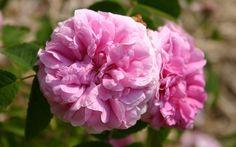Image result for duchesse de rohan rose