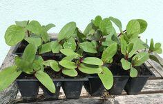 How to start Malabar Spinach Seeds