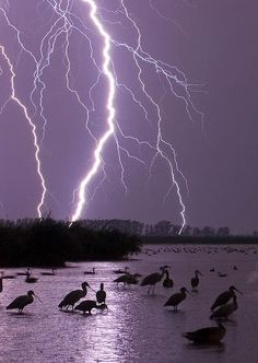 Forked lightning across horizon at night, with mixed flock of birds, Lake Csaj, Kiskunsagi National Park, Hungary Purple Lightning, Ride The Lightning, Thunder And Lightning, Lightning Strikes, Lightning Storms, Thunder Clouds, Lightning Bolt, All Nature, Science And Nature