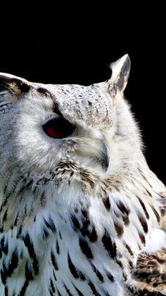 Siberian owl, portrait, bird, 720x1280 wallpaper