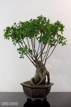 Pianta Bonsai Ficus. carlocivera.org #piantabonsai #arredamento #design