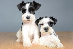 Ranked as one of the most popular dog breeds in the world, the Miniature Schnauzer is a cute little square faced furry coat. It is among the top twenty favorite Miniature Schnauzer Puppies, Giant Schnauzer, Schnauzer Puppy, Best Puppies, Cute Puppies, Cute Dogs, Happy Animals, Cute Animals, Cute Puppy Photos