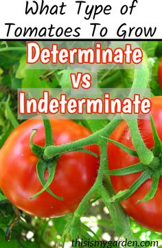 tomato plants indoors Organic Gardening tomato plants in Growing Tomatoes From Seed, Growing Tomato Plants, Types Of Tomatoes, Grow Tomatoes, Tomato Types, Organic Plants, Organic Gardening, Gardening Tips, Container Gardening