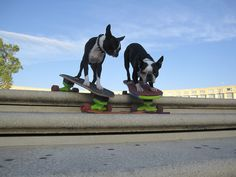This is a photo featuring two Boston Terrier dogs from the south of France. They are known for being skateboarding dogs. *Featured on www.bterrier.com