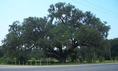 """Southern live oak"" Quercus virginiana - The Volusia Oak on the St. Johns River in Volusia, Florida."
