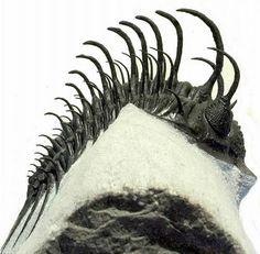 コムラ・バルチンキ COMURA BULTYNCKI三葉虫の化石の販売【化石seven】