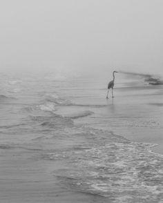 I love these birds, they are curious and interesting to watch.  #heron #birds #beach #fog #florida #lidokey #blackandwhitephotos #instagram #nikon #nikonphotography #carleeberardphotography #likeforlike #picoftheday