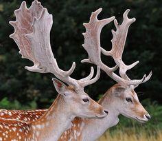Fallow deer or chital Deer Pictures, Animal Pictures, Deer Species, Big Deer, Musk Ox, Fallow Deer, Mule Deer, Animals Images, Wild Animals