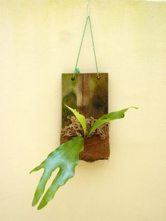 STAGHORN FERN   LIGHT: Low to medium indirect sunlight   WATER: place entire board and fern under water, either in a bucket or tub, or run under water faucet and let drain.
