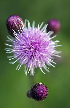 Fleurs de Bardane apaisantes...Saforelle®