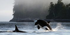 Orcas off of Gil Island, Great Bear Rainforest, British Columbia, Canada