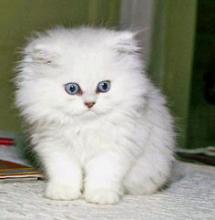 Angora+kitten  look at those eyes