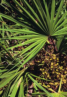 Serenoa repens (saw palmetto) , palm of Arecaceae family; used for benign prostatic hyperplasia treatment . Natural Treatments, Natural Cures, Natural Hair, Palm Trees For Sale, Benign Prostatic Hyperplasia, Fitness Models, Fitness Motivation, Prostate Cancer, Medicinal Herbs