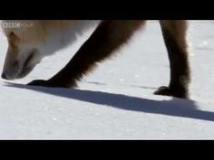 How foxes use magnetic fields to catch prey - The Wonder of Animals: Episode 5 Preview - BBC Four - YouTube
