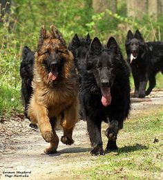 A pack of gorgeously furry GSDs coming through!                                                                                                                                                                                 More