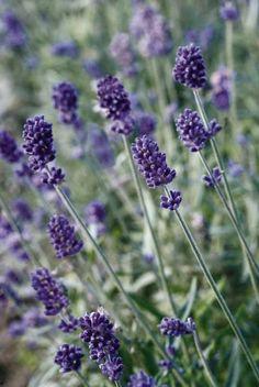 3 x Lavandula angustifolia 'Rosea/' 2,79 € pro St Lavendel