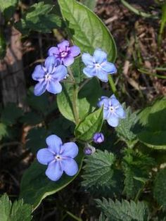 Omphalodes verna; blue-eyed Mary (creeping navelwort)