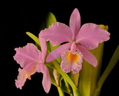 Orchid: Cattleya warneri concolor - Flickr - Photo Sharing